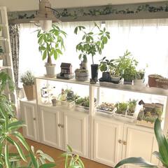 インドアグリーンのある暮らし/インドアグリーン/インテリアグリーン/plantsgardenparadise/プランツガーデンパラダイス/DIY/... 夫がインナーテラスの窓際に植物棚を作って…