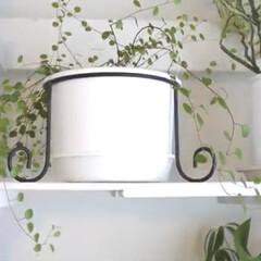 観葉植物のある暮らし/観葉植物/YouTubeチャンネルあります/ペペロミア/インドアグリーン/インテリアグリーン/... インナーテラスの様子 ペペロミアが育てや…(5枚目)