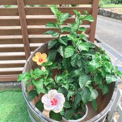 ガーデニング/花 昨日購入したハイビスカス。朝見たら咲いて…