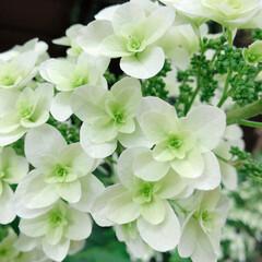 花好きな人と繋がりたい/花のある暮らし/花/garden/庭/カシワバアジサイ/... カシワバアジサイ。 お庭で咲いてます♬ …