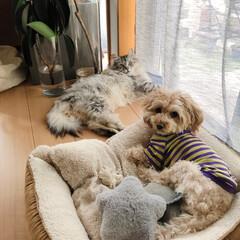 癒し/可愛い/もふもふ/いぬとねこがいる生活/犬と猫/犬猫/... 窓辺で風にあたりながらくつろぐ もふもふ…
