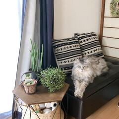猫と暮らすインテリア/可愛い/もふもふ/メインクーン/猫のいる暮らし/猫/... 猫と植物。 もふもふさんが最近よくいる場…