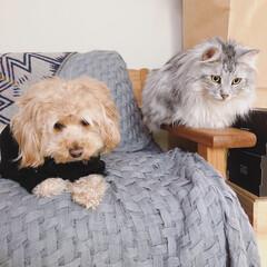 見守り隊/アメリカンショートヘア/メインクーン/マルプー/犬と猫のいる暮らし/令和の一枚/... 弟にゃんこを見守る兄たち。 見てないで一…