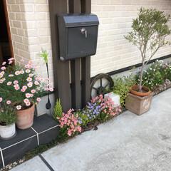 オリーブ/花壇/玄関/門柱/はじめてフォト投稿 我が家の玄関。 門柱まわり。