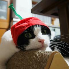 保護猫出身/ハチワレ/キャット/猫好き/白黒猫/はちわれ猫/... リキくん   🍒さくらんぼ🍒になってみた