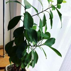 植物のある暮らし/風景/暮らし ガジュマルの木成長中 春からどんどん葉っ…