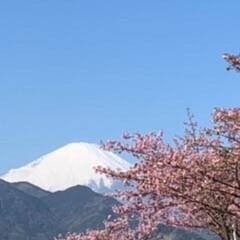 いいねTop10決定戦 河津桜と富士山のコラボです。