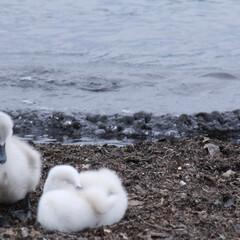 白鳥/山中湖/波/子ども/はじめてフォト投稿 白鳥の子どもです