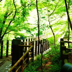 茨城県/花貫渓谷/渓谷/新緑/森林浴/散歩/... 森林浴のなか吊り橋を発見!明るく照らされ…
