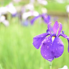 花しょうぶ/花/お散歩/梅雨/雨上がり/雨季ウキフォト投稿キャンペーン/... 雨上がりのお散歩で花しょうぶを見てきまし…
