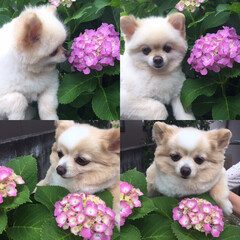 暮らし/動物モチーフグッズ 我が家の庭にも紫陽花が咲き始めました💐 …