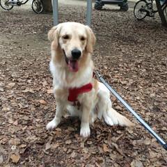LIMIAペット同好会/わんこ同好会/大型犬/ゴールデンレトリーバー/ゴールデンレトリバー/おでかけ/... 初めて行った公園! すごく広くていっぱい…