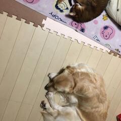 大型犬/アビシニアン/にゃんこ同好会/ゴールデンレトリーバー/ゴールデンレトリバー/わんこ同好会/... 微妙な距離感😅