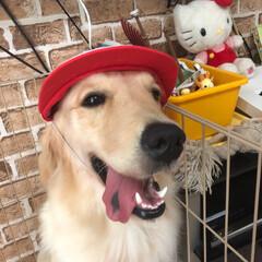 大型犬/ゴールデンレトリーバー/ゴールデンレトリバー/フォロー大歓迎/LIMIAペット同好会/わんこ同好会/... 子供たちに赤白帽被らされるナミちゃん(^…