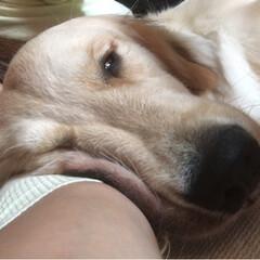 大型犬/ゴールデンレトリバー/ゴールデンレトリーバー/フォロー大歓迎 私の腕枕で寝てるナミちゃん! どんな顔し…
