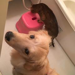 LIMIAペット同好会/犬好きの方とつながりたい/大型犬/ゴールデンレトリバー/ゴールデンレトリーバー/フォロー大歓迎/... お散歩終了後お風呂場へ足を洗いに行くとリ…