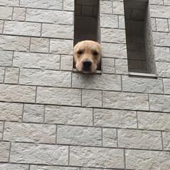 ゴールデンレトリーバー/ゴールデンレトリバー/大型犬/LIMIAペット同好会/わんこ同好会 2階のベランダから私をお見送りしてくれる…