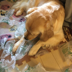 LIMIAペット同好会/わんこ同好会/ゴールデンレトリバー/ゴールデンレトリーバー/大型犬 荷物が届いて、中に入っていた緩衝材でスト…