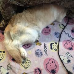 大型犬/わんこ同好会/LIMIAペット同好会/ゴールデンレトリーバー/ゴールデンレトリバー/フォロー大歓迎 ナミちゃんがイタズラしたので「コラッ💢」…