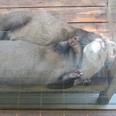 鳥羽水族館/カワウソ/カップル/はじめてフォト投稿 鳥羽水族館のカワウソたち 抱き合って寝て…