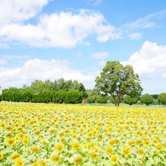 ひまわり畑/ひまわり/地元のオススメ 和泉リサイクル環境公園