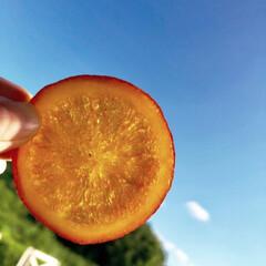 手作りスイーツ/おやつの時間/オレンジコンフィ/オレンジ/オランジェット/yummy/... オレンジレアチーズケーキ🍊を作った残りで…(4枚目)
