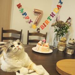 誕生日/スコティッシュフォールド 先日7歳の誕生日を迎えました🎂