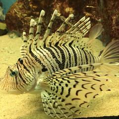 魚/水族館/志摩マリンランド/はじめてフォト投稿 志摩マリンランドのミノカサゴ