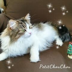 Petit ChouChou/ノルウェージャン子猫部/ノルウェージャン子猫/猫がいる暮らし/猫バカ/ねこ部/... ノルウェージャンフォレストキャットのシャ…