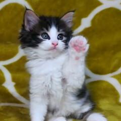 猫ちゃん/猫バカ/猫との暮らし/猫のいる暮らし/ねこ好き/猫好き/... パパに似て ボクはおっとりにゃんらしい …