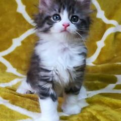 ねこ部/多頭飼いの幸せ/多頭飼い/ねこと暮らす/ねこ好き/猫との暮らし/... ブラウンマッカレルタビー&ホワイトの女の…