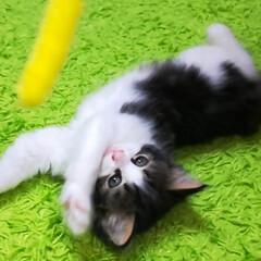 猫ちゃん/猫バカ/猫との暮らし/猫のいる暮らし/ねこ好き/猫好き/... パパに似て ボクはおっとりにゃんらしい …(3枚目)