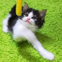 猫ちゃん/猫バカ/猫との暮らし/猫のいる暮らし/ねこ好き/猫好き/... パパに似て ボクはおっとりにゃんらしい …(4枚目)