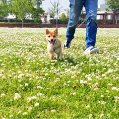 shibainu/dog/犬/puppy/ふわもこ部/福岡犬民/... ・ 外にいるときはいつも キラキラ笑顔🤩…(3枚目)