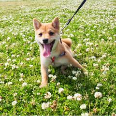shibainu/dog/犬/puppy/ふわもこ部/福岡犬民/... ・ 外にいるときはいつも キラキラ笑顔🤩…(2枚目)