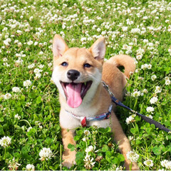 shibainu/dog/犬/puppy/ふわもこ部/福岡犬民/... ・ 外にいるときはいつも キラキラ笑顔🤩…(1枚目)