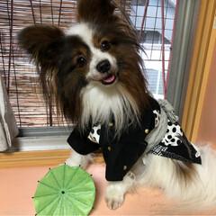 犬の気持ち/パピヨン/パピヨン大好き/犬のいる暮らし/パピヨン多頭飼い/おすすめアイテム/...  この浴衣着て お祭り行くワン🐶byカイ…
