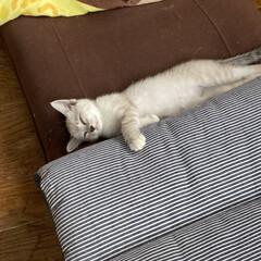 パパ激怒/やんちゃなニャンコ/やんちゃすぎ/猫との暮らし/猫のいる暮らし/猫 おはようございます 最近、やっと家に慣れ…(2枚目)
