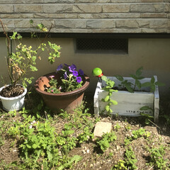 育て方勉強します/薔薇/向日葵/急にわらわら増えた/夏野菜も/生育中/... 朝植え替えた頂いたハーブ達です カモミー…(2枚目)