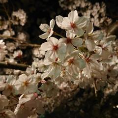 幻想的/夜桜/桜/風景/春の一枚 🌸夜桜🌸