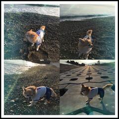 ちわわ大好き/ちわわ部/ちわわ/海散歩/風景 海🏖散歩🚶♀️ 涼しくて気持ちよかった…