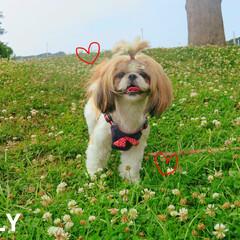 犬大好き/夏/春/花/犬好き/いぬ/... お気に入りの公園のシロツメクサ🌸🌸✨ 写…