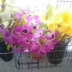 はじめてフォト投稿/暮らし 今年咲いたベランダの胡蝶蘭