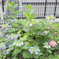 家の庭/ガーデニング/梅雨を楽しむ/紫陽花 気付いたらこんなにも咲いていた庭の紫陽花…(1枚目)