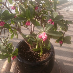 ベランダ/ガーデニング/マンション/花のある暮らし 大事に育てている沈丁花。今年も無事花が開…