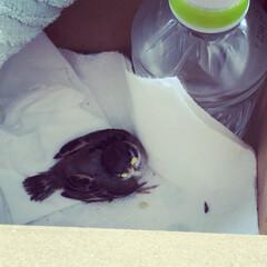 保護/スズメ/出会い/LIMIAペット同好会 今朝、スズメの雛を保護しました。 とても…