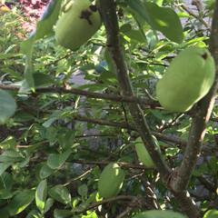 フォロー大歓迎/我が家の庭の木/我が家の庭 ボケの実がついてました。