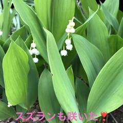 我が家の庭の花/花/季節の花 札幌の花のスズラン。 札幌以外も北海道の…