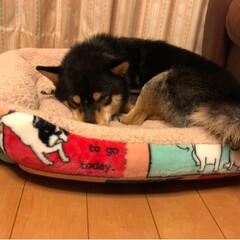 おやすみショット/犬大好き/柴犬 ホリホリ、カミカミ😭大暴れの後、やっと落…(2枚目)