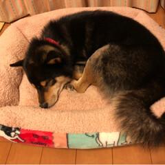 おやすみショット/犬大好き/柴犬 ホリホリ、カミカミ😭大暴れの後、やっと落…